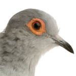 dove-pigeon-small